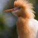 koereiger-cattle-egret-08