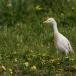 koereiger-cattle-egret-13
