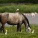 koereiger-cattle-egret-16
