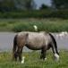koereiger-cattle-egret-17