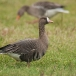 kolgans-greater-white-fronted-goose-03