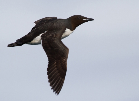 kortbekzeekoet-thick-billed-murre-42