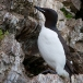 kortbekzeekoet-thick-billed-murre-04