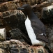 kortbekzeekoet-thick-billed-murre-09