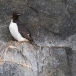 kortbekzeekoet-thick-billed-murre-14