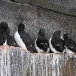kortbekzeekoet-thick-billed-murre-17
