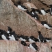kortbekzeekoet-thick-billed-murre-18