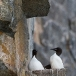 kortbekzeekoet-thick-billed-murre-21