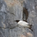 kortbekzeekoet-thick-billed-murre-22