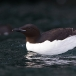 kortbekzeekoet-thick-billed-murre-24