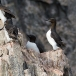 kortbekzeekoet-thick-billed-murre-25