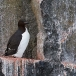 kortbekzeekoet-thick-billed-murre-27