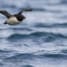 kortbekzeekoet-thick-billed-murre-30