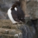 kortbekzeekoet-thick-billed-murre-32