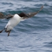 kortbekzeekoet-thick-billed-murre-44