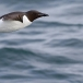 kortbekzeekoet-thick-billed-murre-45