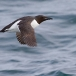 kortbekzeekoet-thick-billed-murre-46