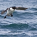 kortbekzeekoet-thick-billed-murre-47