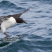 kortbekzeekoet-thick-billed-murre-48