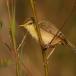 kortvleugelgraszanger-short-winged-cisticola-01