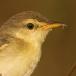 kortvleugelgraszanger-short-winged-cisticola-02