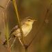 kortvleugelgraszanger-short-winged-cisticola-03