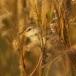 kortvleugelgraszanger-short-winged-cisticola-04