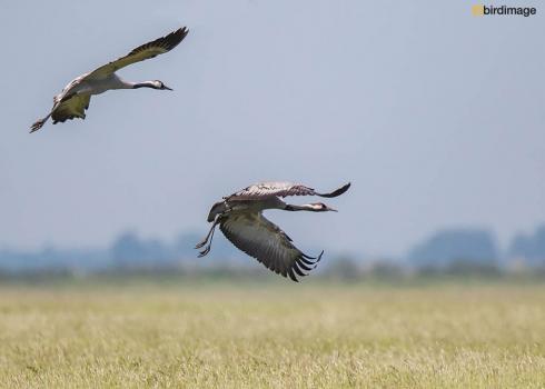 Kraanvogel - Common Crane 21
