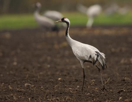 kraanvogel-common-crane-07