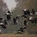kraanvogel-common-crane-08