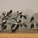 kraanvogel-common-crane-10