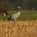 kraanvogel-common-crane-14