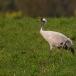 kraanvogel-common-crane-15