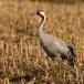 kraanvogel-common-crane-16