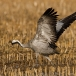 kraanvogel-common-crane-19