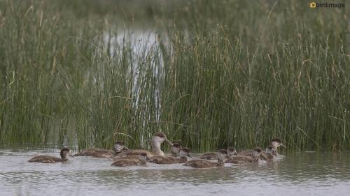 Krooneend - Red-crested Pochard 19