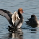 krooneend-red-crested-pochard-03