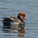 krooneend-red-crested-pochard-04