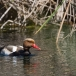 krooneend-red-crested-pochard-13