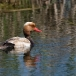 krooneend-red-crested-pochard-14