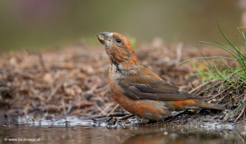 kruisbek-red-crossbill-05