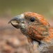 Kruisbek – Red Crossbill