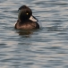 kuifeend-tufted-duck-03
