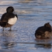 kuifeend-tufted-duck-04