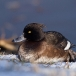 kuifeend-tufted-duck-05