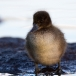 kuifeend-tufted-duck-11