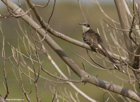 Kuifkoekoek - Great Spotted Cuckoo 03