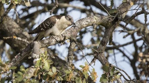Kuifkoekoek - Great Spotted Cuckoo 06