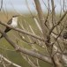 Kuifkoekoek - Great Spotted Cuckoo 02