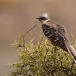 kuifkoekoek-great-spotted-cuckoo-01